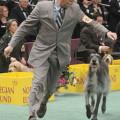 Scottish Deerhound Tiger Woods