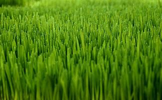 Chip Shots Does Grass Type Matter In Golf Golfstinks