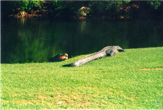 Gators sunbathing in the fairway on Hilton Head, SC